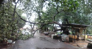 Hujan Disertai Angin Kencang Tumbangkan Pohon, Jalan Puncak Sekuning Tak Bisa Dilalui Kendaraan