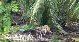 Ditembak Dari Jarak 15 Meter, Harimau Bonita Tertangkap!
